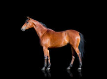Bay horse isolated on black. Bay horse standing on black background, isolated Royalty Free Stock Image