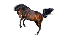 Bay horse isolated. Bay horse with long mane in motion on white background Royalty Free Stock Photo
