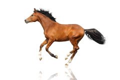 Bay horse isolated Royalty Free Stock Image