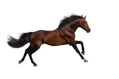 Bay horse isolated. Bay stallion run gallop isolated on whte background Royalty Free Stock Images