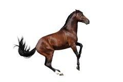 Bay horse isolated. Bay stallion isolated on white background Royalty Free Stock Photography