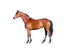 Bay horse isolated on white background. Cut-out Stock Photo