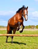 Bay horse jumping over a hurdle riderless Royalty Free Stock Images