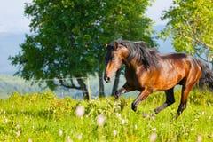 Bay horse Royalty Free Stock Photos
