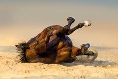 Bay horse lay. On sand Stock Photos