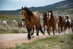 Bay horse leading herd of horses along dirt road Stock Photos