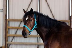 Bay horse learning on manege. Bay horse learning to work without bridle on manege Royalty Free Stock Photo