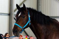 Bay horse on manege. Bay horse learning to work without bridle on manege Stock Photography