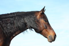 Bay horse with long mane portrait. Brown horse with black mane portrait on sky background Royalty Free Stock Photo