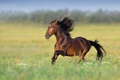 Bay Orlov trotter free run royalty free stock images
