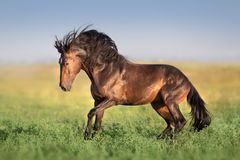 Bay stallion in motion. Bay horse with long mane run gallop on green field stock image