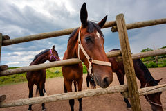 Bay horse looks. Horse-racing club in Moldova. Bay horse looks out of the enclosure, sticking his head through a wooden fence stock photo