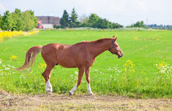 Bay horse on a meadow Stock Image