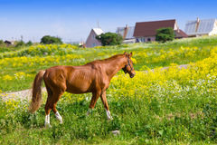 Bay horse on a meadow in a bright sunny day Royalty Free Stock Photos