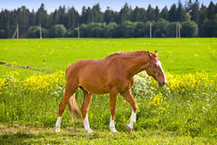 Bay horse on a meadow in a bright sunny day Stock Photo
