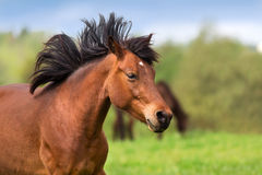 Bay horse in motion. Bay horse portrait  free in motion Royalty Free Stock Image