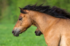 Bay horse in motion Royalty Free Stock Photos