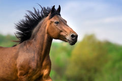 Bay horse in motion Stock Image