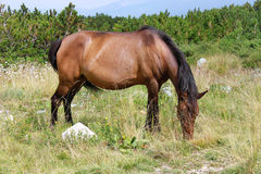 Bay horse in the Mountains. Bay horse eating grass in the meadow high in the mountains Royalty Free Stock Image