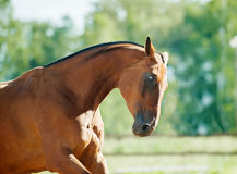 Bay horse moving portrait with backlight. The bay horse moving portrait with backlight royalty free stock photos