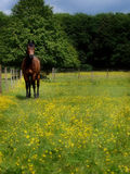 Bay Horse In Paddock Stock Photos