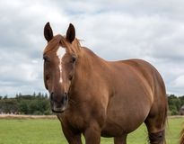 Bay horse in the pasture Royalty Free Stock Photos