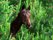 The bay horse in pinetree. Bay horse in pinetree day summer outdoor sunny Stock Image