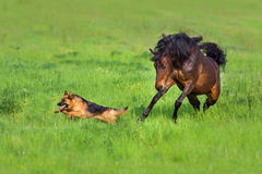 Bay horse play with dog
