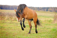 Bay horse play free Royalty Free Stock Photo
