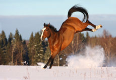 Bay horse playing in the snow field