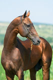 Bay horse portrait Royalty Free Stock Photography