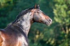 Bay horse portrait. Holstein bay horse portrait in summer time Stock Image
