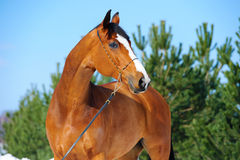 Bay horse portrait Stock Images