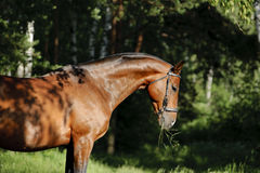 Bay horse portrait. In forest Stock Photography