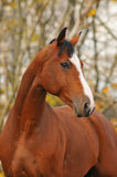 Bay horse portrait in autumn. Bay horse portrait in season autumn Stock Photo