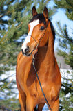 Bay horse portrait on the background of pines Royalty Free Stock Photos