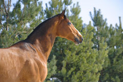 Bay horse portrait on the background of pines Stock Photo