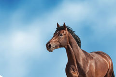 Bay horse portrait Royalty Free Stock Photos
