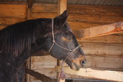 Bay horse portrait in box stall in stable. Bay horse portrait in box stall in the wooden stable Stock Photo