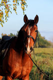 Bay horse portrait with bridle Stock Photography
