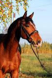 Bay horse portrait with bridle Royalty Free Stock Image