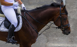 Bay horse portrait during dressage competition. Equestrian sport background. Stock Photo