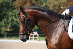 Bay horse portrait during dressage show Stock Photography
