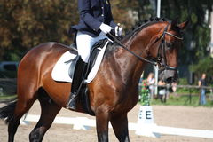 Bay horse portrait during dressage show. Bay horse portrait during dressage competition Royalty Free Stock Image