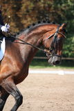Bay horse portrait during dressage show Stock Photos