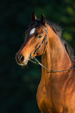 Bay horse portrait on green background. Royalty Free Stock Photos