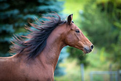Bay horse portrait on green background. Stock Photography