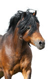 Bay horse portrait isolated. Bay stallion portrait with long mane isolated on white background Royalty Free Stock Images