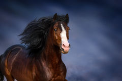 Bay horse portrait in motion. Bay horse with long main and blue eye close up portrait in motion Royalty Free Stock Photo