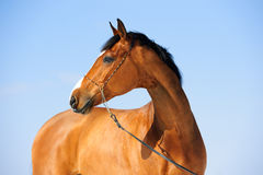 Bay horse portrait on the sky background Royalty Free Stock Images